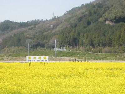 美しい菜の花畑