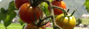 トマトの収穫時期