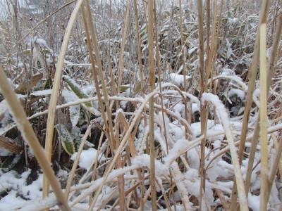 雪化粧のすすき野