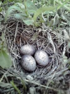 たぶん鳥の卵