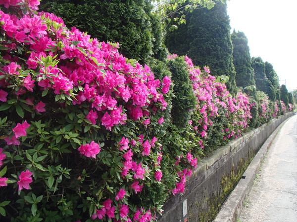 綺麗なツツジの花