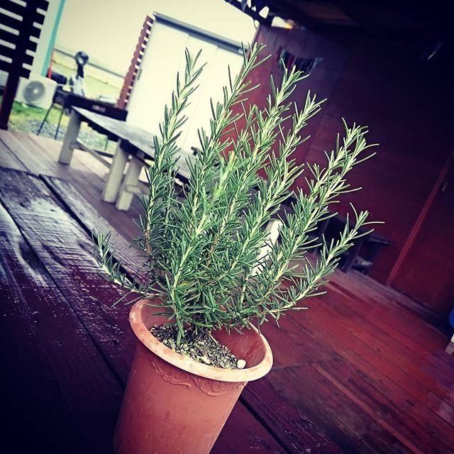 ローズマリーの鉢をもらいました♪今日は雨なので、雨があがったらベースの片すみに植え替えします♬すごくいい香りがします。  #トムソーヤアドベンチャー  #トムソーヤアドベンチャーズ  #保津川ラフティング #ラフティング #ラフティング関西 #アウトドア #bbq #ローズマリー #ガーデニング