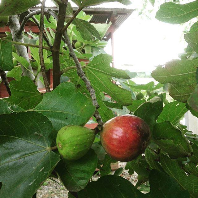 今年はトムソーヤの無花果のできがあまり良くないようで、まだ2個目。#無花果 #イチジク #トムソーヤアドベンチャーズ  #ホイホイカフェ  #保津川ラフティング