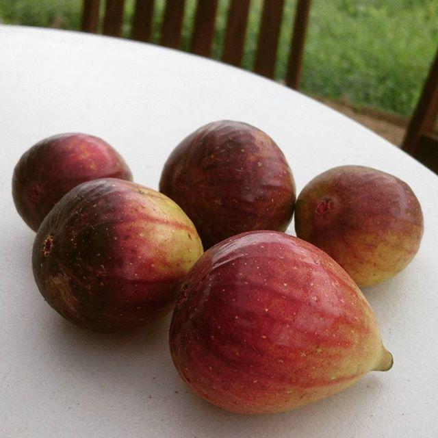 今日の収穫。イチジクがたくさん獲れました。美味しいよ~#トムソーヤアドベンチャーズ  #ホイホイカフェ #イチジク #無花果 #アウトドアライフ