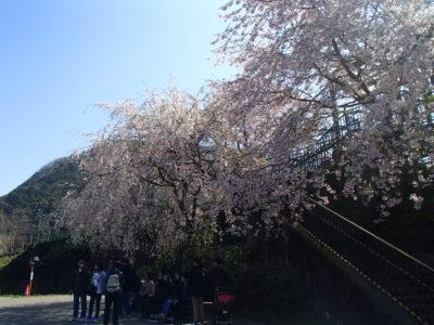 トロッコ駅前の桜